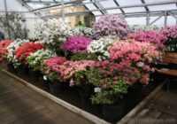 Pilnos ziedos saplaukusi LU Botāniskā dārza acāliju kolekcija