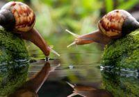 Kad dārzam mieru neliek gliemeži, tad jāņem talkā kukurūzas milti!