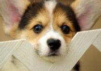 Pirms nolemjat pirkt šķirnes mīļdzīvnieku ar ciltsrakstiem, ieskatieties reģistrā