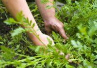Vēl iedarbīgāk nemēdz būt – kā tikt galā ar nezālēm dārzā?