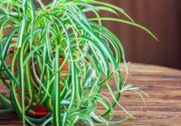 Hlorofīts – augs, kuram jāatrodas mājās ikvienam. Uzziniet, kādēļ!