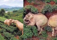 Kamēr lielākā daļa ir pašizolācijā un ievēro sociālo distancēšanos, ziloņi zog alkoholu un uzdzīvo