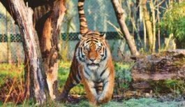 COVID-19 konstatēts Ņujorkas zoodārzā esošam tīģerim